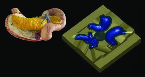 Очень точное воспроизводство органов в образовательных целях